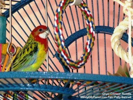 Crimson rosella on cage next to rope swing
