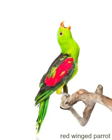 Screaming Red-Winged Parrot Aprosmictus erythropterus in profile isolated on white
