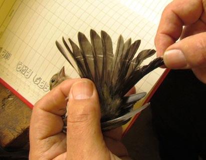 stress bars on feather of small wild bird
