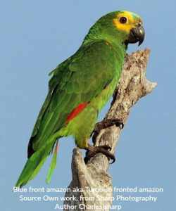 Will controlling his hormones stop this blue front amazon from regurgitating seasonally?