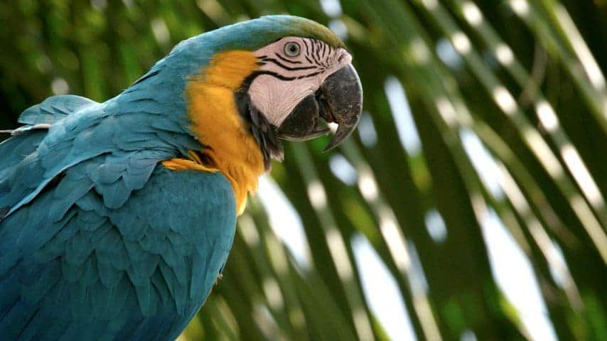 close up blue and gold macaw parrot