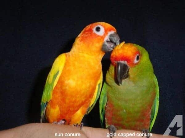 sun conure and gold capped conure parrots