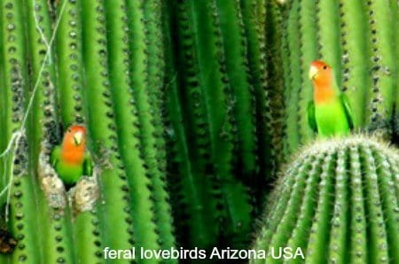2 feral lovebirds in cactus Arizona USA