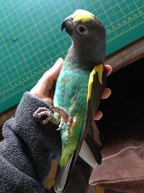 perroquet meyer