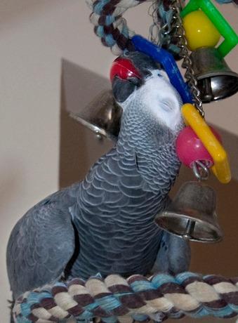 perroquet joue- oiseau crie