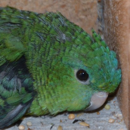 Green female catherine parakeet