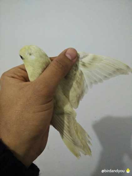 Cremino ailes grises