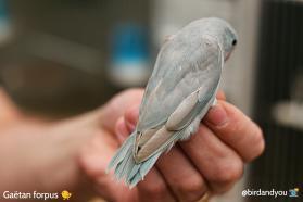 forpus femelle bleu cinamon-2