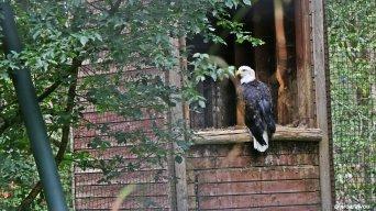 Aigle royal birdandyou