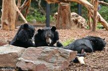 ours noirs pairi daiza birdandyou