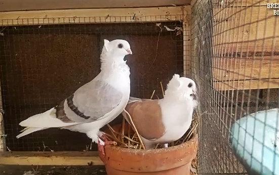 Couple pigeon cravaté
