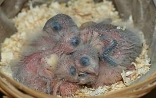 La reproduction en hiver des oiseaux, est-elle possible?