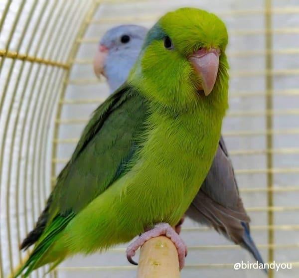 Male vert toui celeste