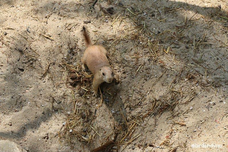 Chien de prairie volières du zoo de lille