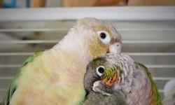 Cohabitation conures pyrrhuras
