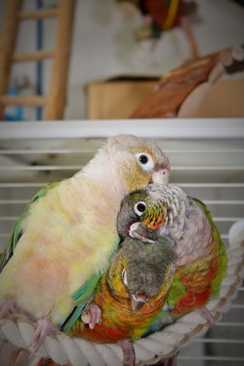 Cohabitation pyrrhuras