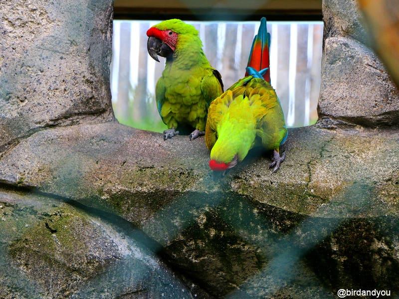 Ara du Buffon Zoo de beauval
