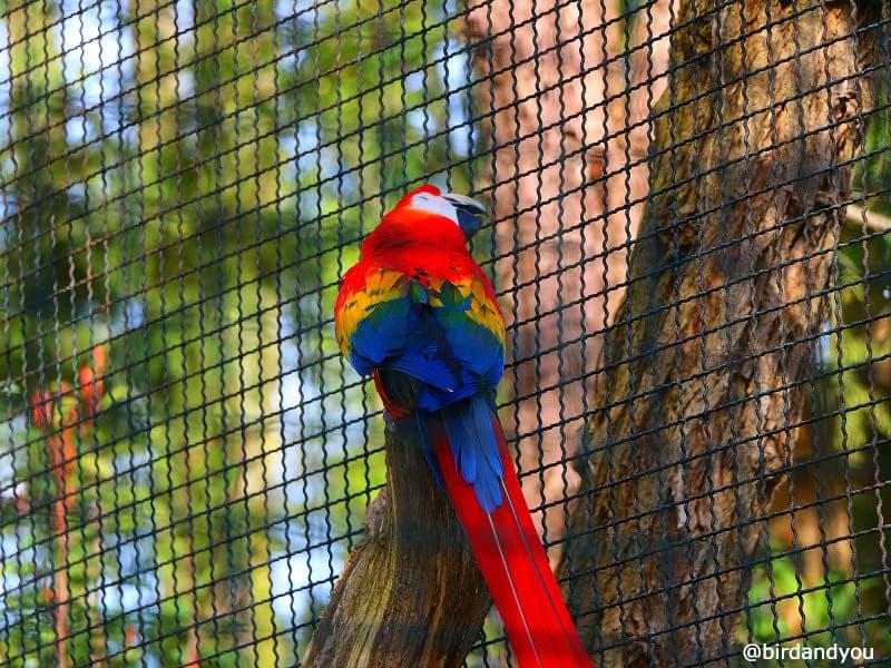 Ara macao Zoo de beauval