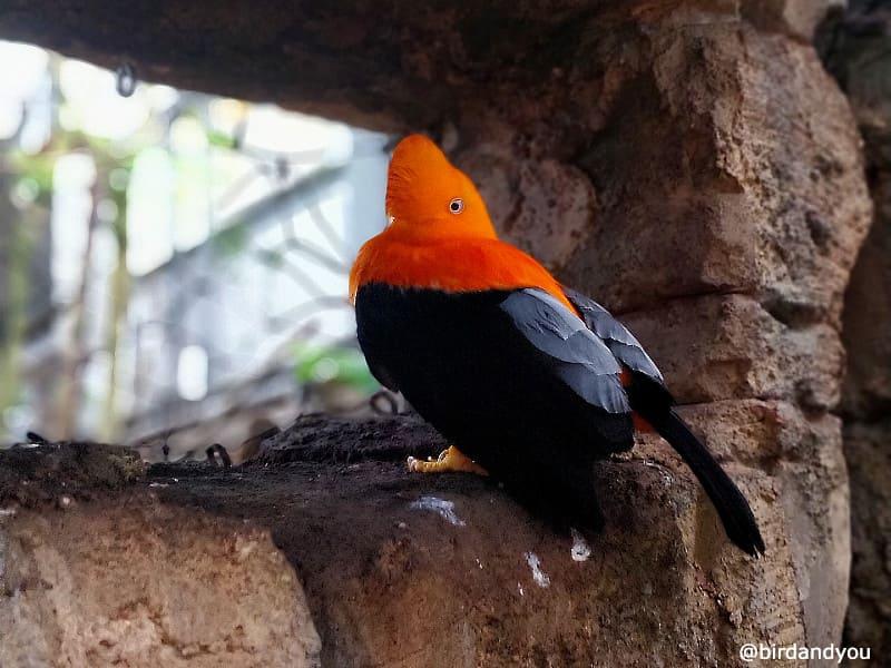 Coq de roche orange Zoo de beauval