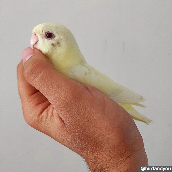 Perruche catherine cremino Bird and You 2 - Spread legs in a baby catherine parakeet