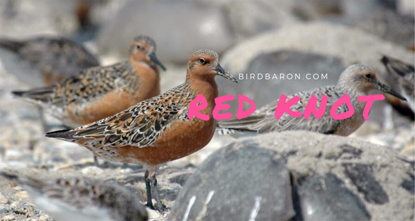 Red Knot – Why does the red Knot Breed in the Arctic?