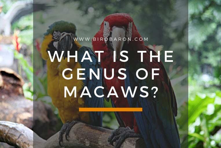 Ara Genus – What is the Genus of Macaws?