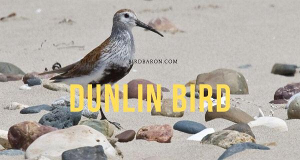 Dunlin Bird – What type of Bird is a Dunlin?