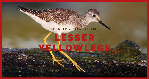 Lesser yellowlegs – How to Differentiate with Greater Yellowlegs