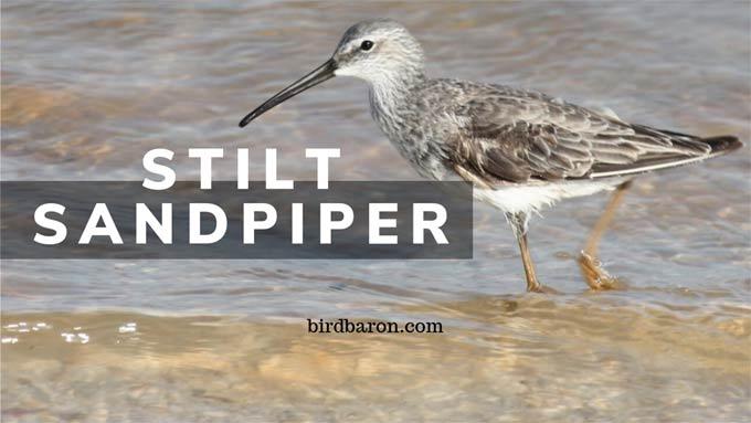 Stilt Sandpiper – Identification | Size | In Flight | Juvenile | Range