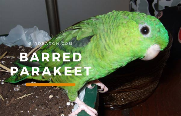 Barred, Lineolated or Catherine Parakeet (Bolborhynchus lineola)