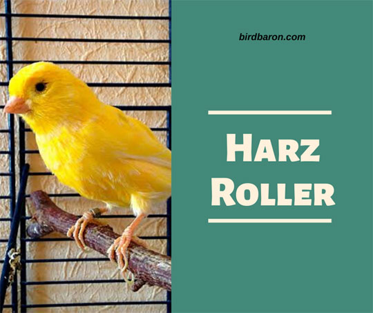 Harz Roller Canary – Singing Price For Sale