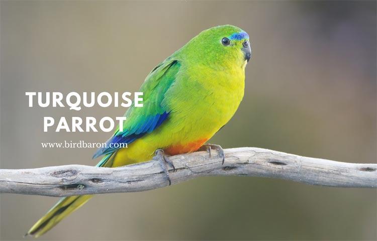 Turquoise parrot – Neophema pulchella Parrotlet