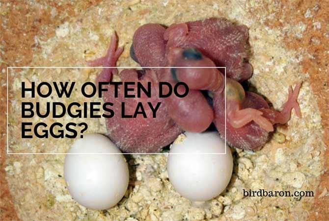 How often do Budgies Lay Eggs?