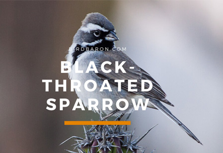 Black-throated Sparrow – Songs | Range | Facts | Juvenile