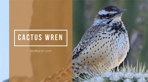Cactus wren Bird – Facts | Traits | Profile | Behavior | Diet