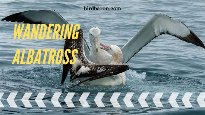 Wandering Albatross – Habitat | Size | Diet | Facts | Wingspan