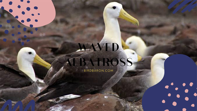 Waved Albatross – Facts | Description | Range | Behavior
