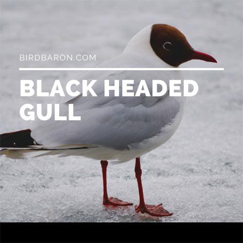 Black Headed Gull – Seagull | Facts | Range | Migration