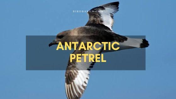 Antarctic Petrel (Thalassoica antarctica) – Profile | Facts