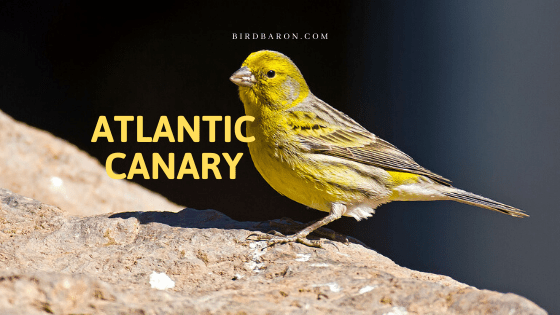 Atlantic Canary Bird Facts and Profile