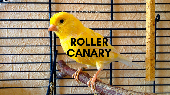 Harz Roller Canary Bird – Profile | Traits | Facts | Habitat