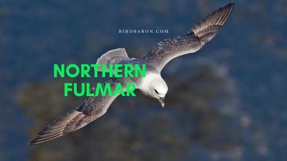 Northern Fulmar (Fulmarus glacialis) Bird Profile