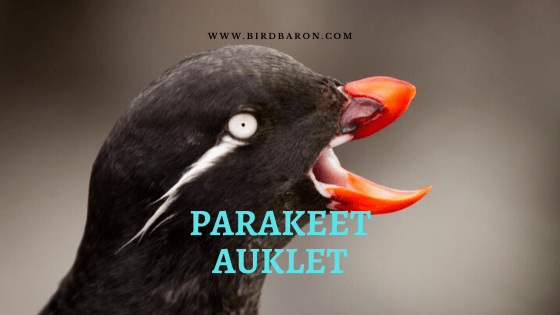 Parakeet Auklet Facts and Identification