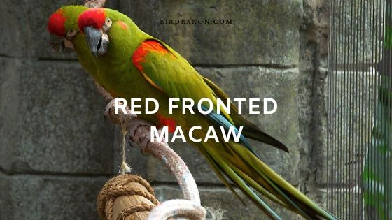 Red Fronted Macaw  (Ara rubrogenys) Overview