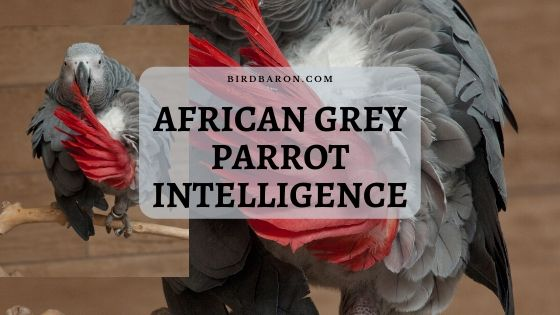 African Grey Parrot Intelligence – Research Findings