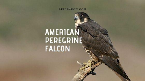 American Peregrine Falcon (Falco peregrinus) Profile