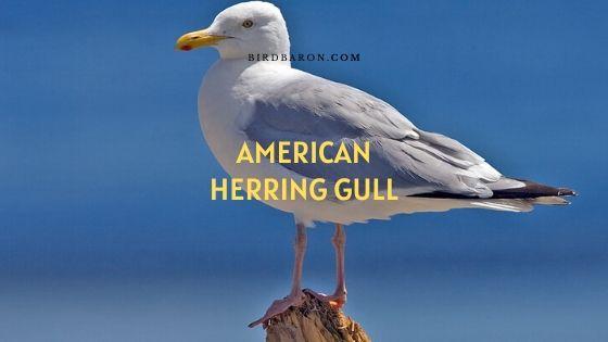 American herring gull, or Smithsonian Gull Facts