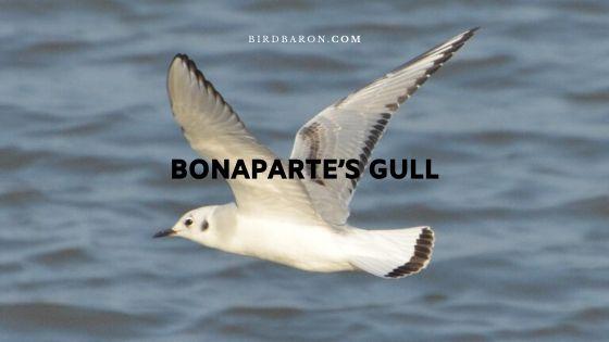 Bonaparte's Gull (Chroicocephalus philadelphia) Facts