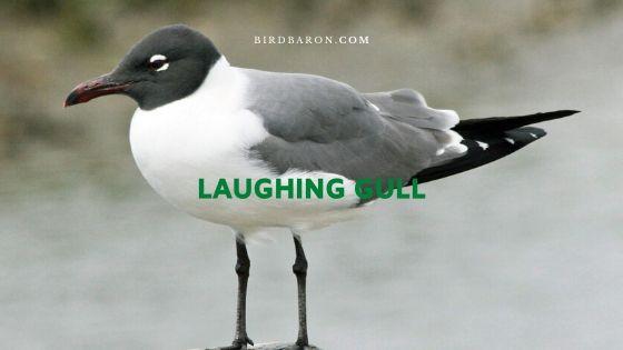 Laughing Gull (Leucophaeus atricilla) – Profile | Facts
