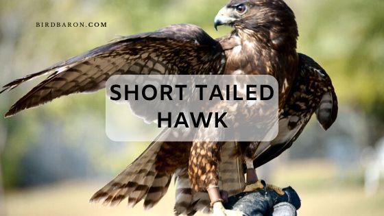 Short Tailed Hawk (Buteo brachyurus) | Buzzard Facts